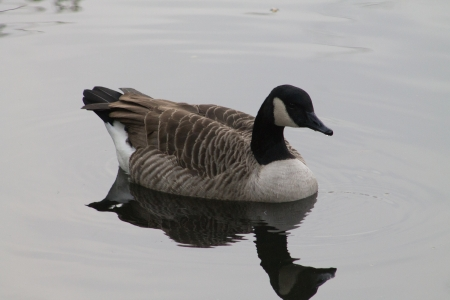 Canada Goose with a reflection photo