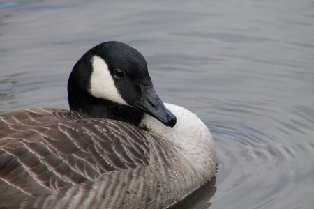 Close up picture of swimming Canada Goose photo