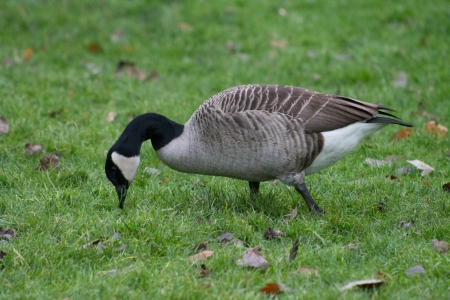 Canada Goose foraging on the grass