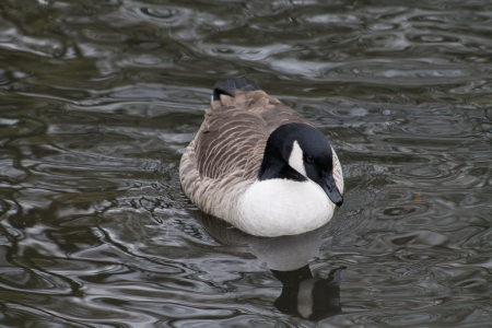 Canada Goose swimming in the pond photo