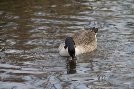 Canada Goose swimming in canal photo