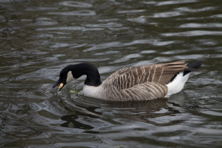 canada goose: Canada Goose swimming in canal