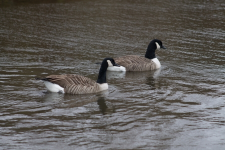 Canada Goose couple swimming in the canal photo