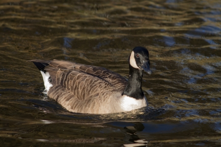 Canada Goose swimming in the water photo