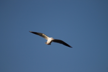 Flying Seagull against blue sky photo