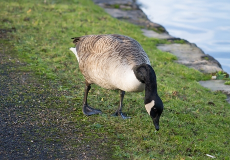 Canada Goose foraging the grass photo
