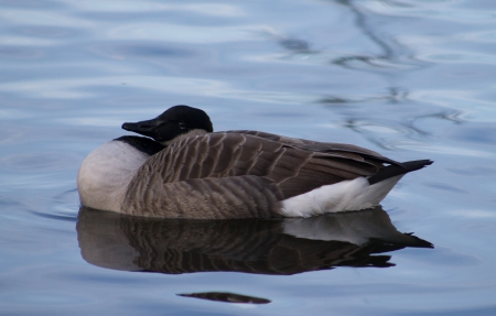 Canada Goose swimmming in the water photo