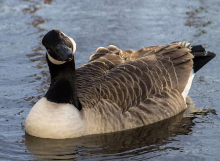 Canada Goose in Ashton Canal, Manchester photo