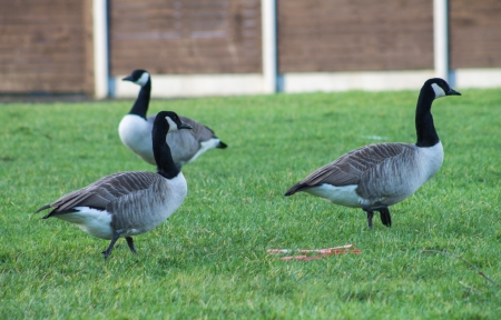 Canada Geese foraging in Manchester, England photo