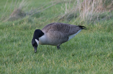 Canada Goose foraging in Manchester, England photo