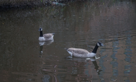 Canada Geese couple in Ashton Canal, Manchester, England photo