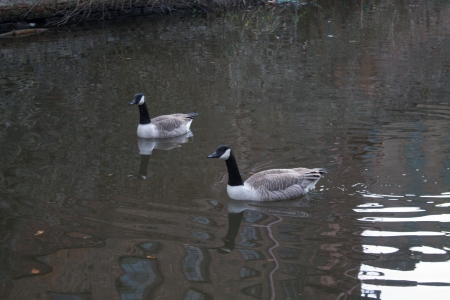 Canada Geese couple in Ashton Canal, Manchester, England, Reflection from nearby house photo