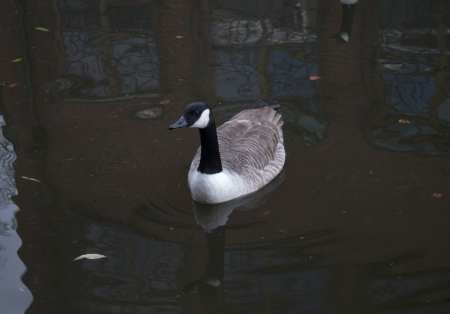 Canada Goose in Ashton Canal, Manchester, England, Reflection from nearby house, Looking towards the camera photo