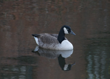 Canada Goose in Ashton Canal, Manchester, England, Eyes closed, reflection photo