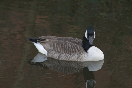 Canada Goose in Ashton Canal, Manchester, England, Looking towards the camera photo