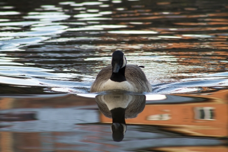 Swimming Canada Goose, Full reflection, looking at the camera photo
