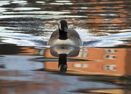 Swimming Canada Goose, Full reflection photo