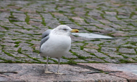 eat right: Herring Gull Standing on a Pavement