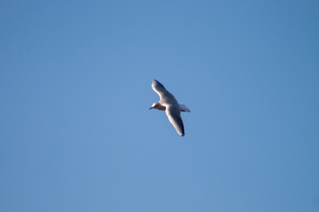 Black Headed Gull photo