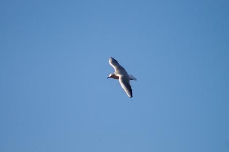 ridibundus: Black Headed Gull Stock Photo