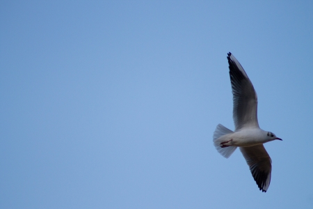 Black Headed Gull Flying photo