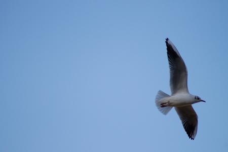 rule of thirds: Black Headed Gull Flying Stock Photo