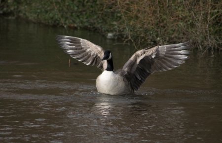 canadensis: Single Canada Goose flapping wings
