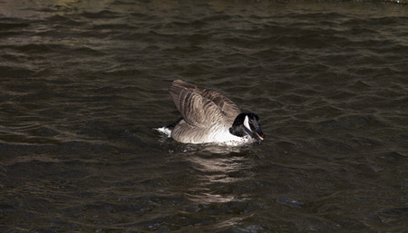 Canada Goose, single bird, swimming against the wind photo