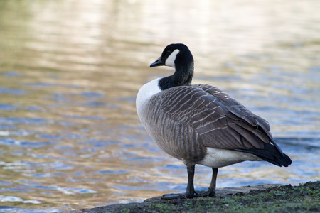 Canada Goose, single bird, standing next to canal photo