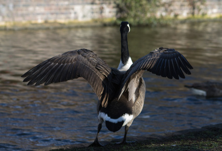 Canada Goose, single bird, flapping wings photo