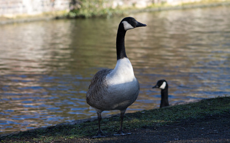 Canada Geese, two birds next to canal photo