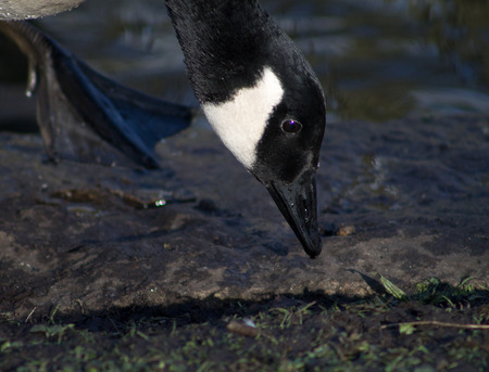 Canada Goose, one bird, foraging food photo