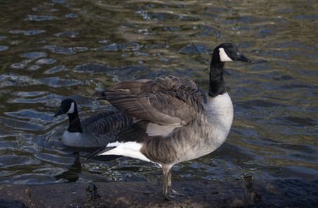 Canada Geese, two birds, one airing wings photo