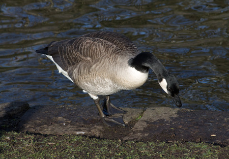 Canada Goose, one bird, standing next to canal photo