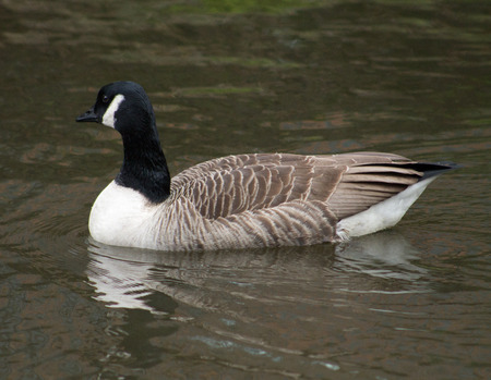 looking away from camera: Canada Goose floating in green water, looking away from camera Stock Photo