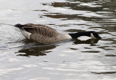 Canada Goose swimming and foraging the food from water photo