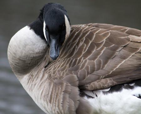 preening: Canada Goose, one bird, preening