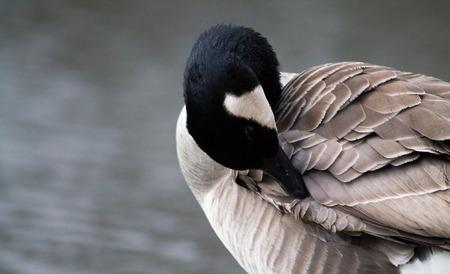 preen: Canada Goose, single bird, preening, side profile, looking down Stock Photo