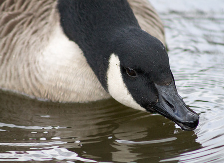 Close up of Canada Goose head photo