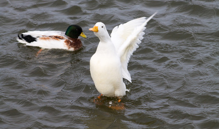 Domestic Duck flapping wings, Mallard on background photo