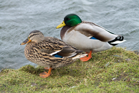 Couple of Mallard Ducks standing next to water photo