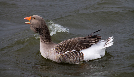 honking: Greylag Goose, one bird, swimming on water and honking Stock Photo