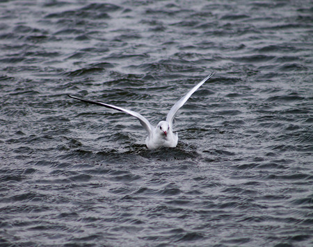 Black Headed Gull landing to water photo