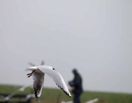 Black Headed Gull, winter adult, flying photo