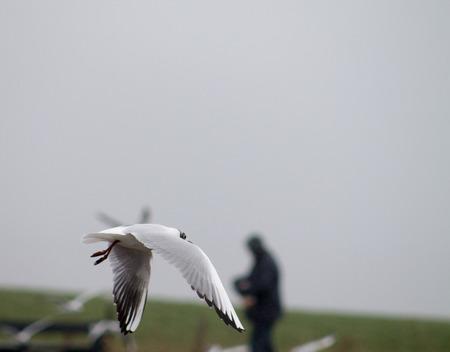 black headed: Black Headed Gull, winter adult, flying