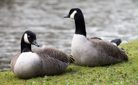 Canada Goose couple, resting on waters edge photo