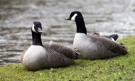 waters  edge: Canada Goose couple, resting on waters edge Stock Photo