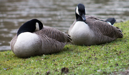 canada goose: Canada Goose couple, resting on waters edge Stock Photo