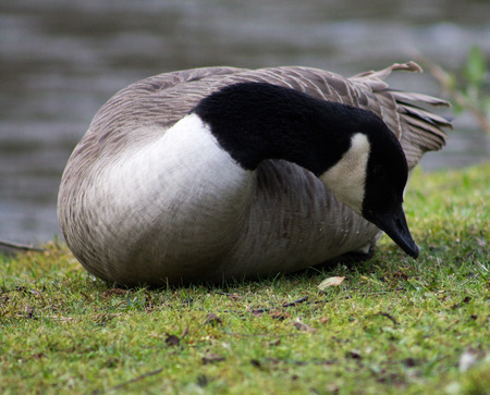 waters  edge: Canada Goose, resting on waters edge Stock Photo