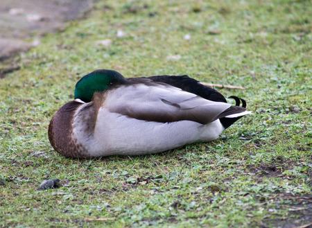 color image mallard duck: Mallard Drake, sleeping Stock Photo